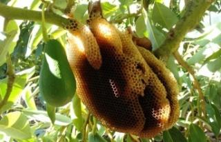 Alanya'da 'Gerçek Avokado Balı' ilgi...