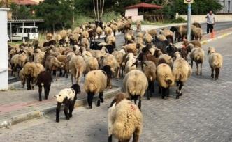 Alanya'da sokaklar koyunlara kaldı