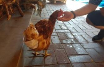 Alanya'da esnafın maskotu 'tavuk' sokağa pislemesin diye maskeyle bezleniyor